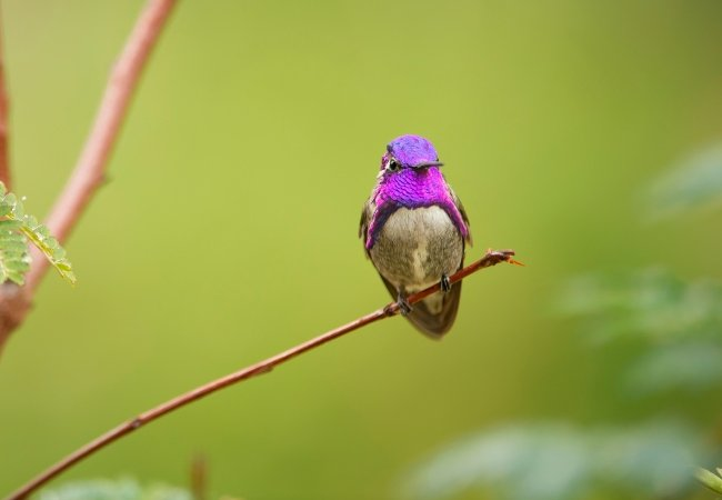 Hummingbird Life in Color David Attenborough