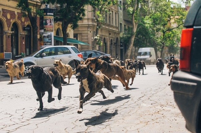 """""""It took five months of training to create a pack of dogs that could run together without any dominance problems,"""" says Teresa Miller"""